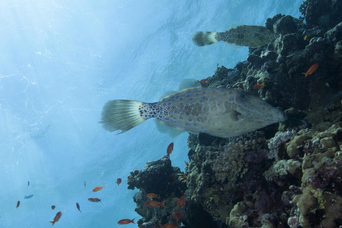 Come Si Nutrono I Pesci Cheap Perch Il Pesce San Pietro Si Chiama