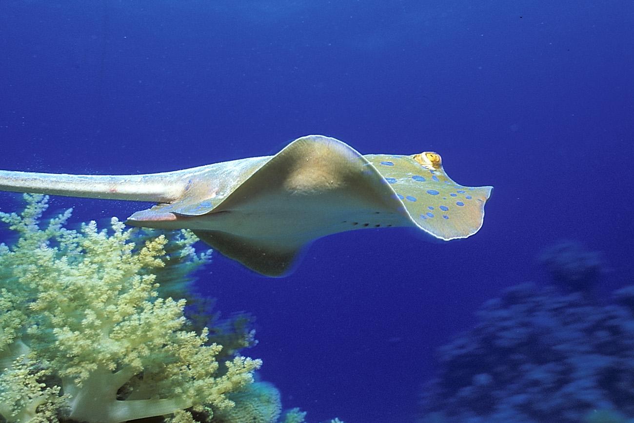 Razze la compagnia del mar rosso for Pesce rosso razza