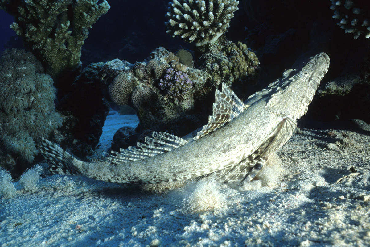 Coccodrillo La Compagnia Del Mar Rosso