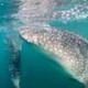 La danza dello squalo balena