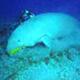 Incontro con il dugongo